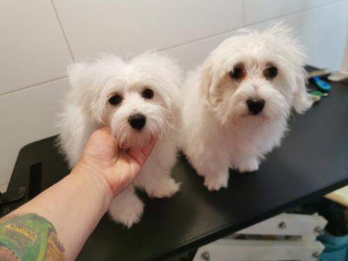 gepflegte hunde 079