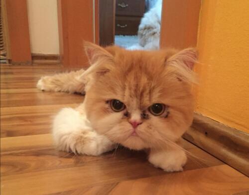 gepflegte katzen 16